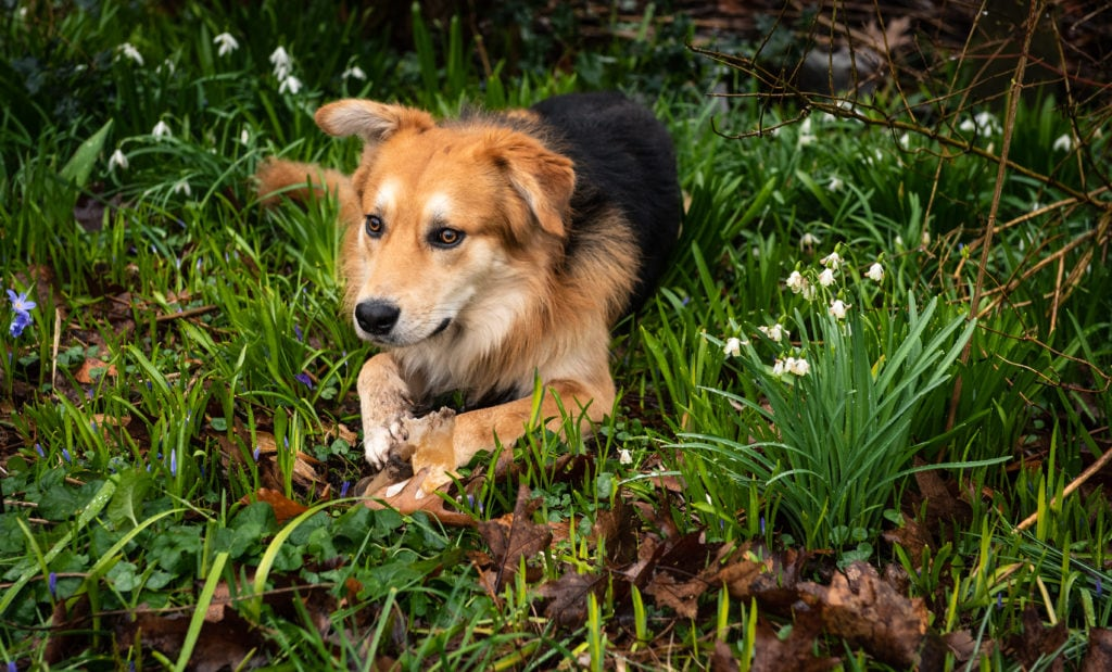 Picture of dog lying in flower bed