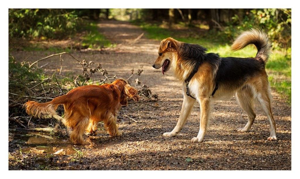 Her vises et billede af to hunde, der leger på en grusbelagt skovsti