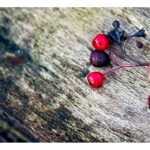 Picture of red berries lying on rotten wood
