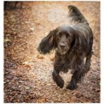 Black spaniel walking